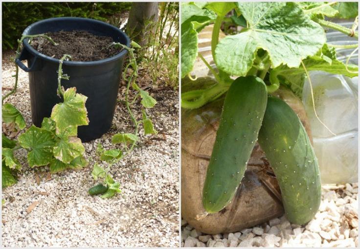Cucumbers grow well in pots