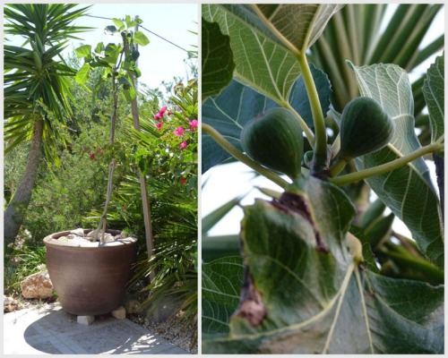 Fig tree in pot - planted 4/6/12