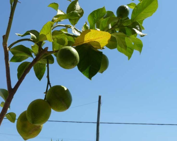 Lemons at last!