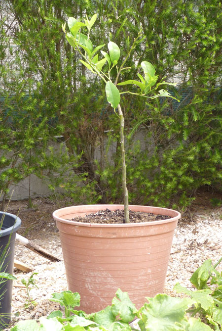 Lime tree in pot