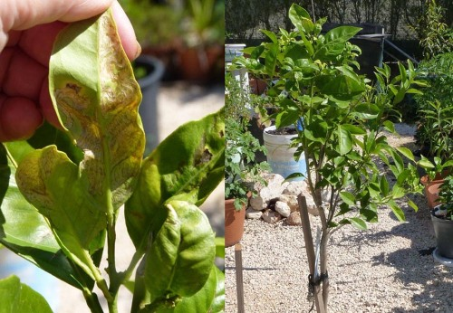 "Insect ""burrowing"" in leaves of orange tree"