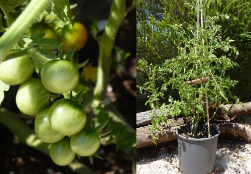 Cherry tomato plant growing in pot 30/06/12