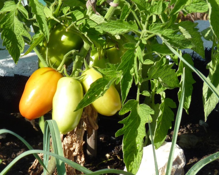 Plum tomatoes 22nd July 2012