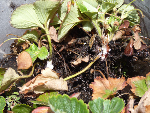 White mold growing on base of strawberry plants