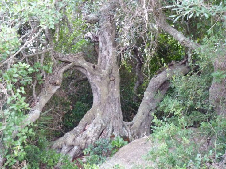 Carob Tree - Árvore de Alfarrobeiras