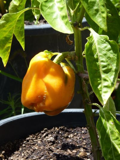 My first orange bell pepper grown in a pot