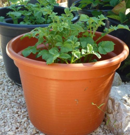 Potatoes growing in pots 17/07/12