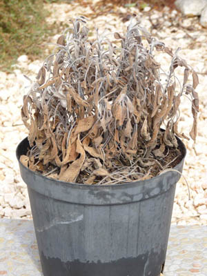 I killed my sage plant
