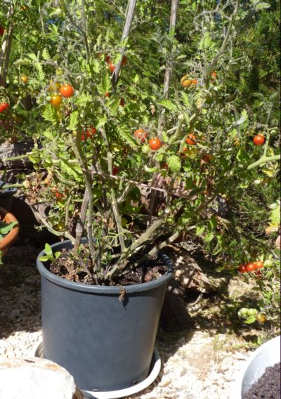 Growing cherry tomatoes in pots