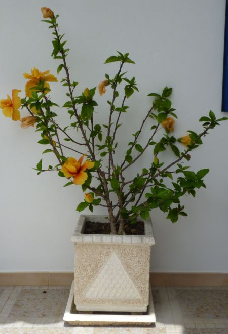Hibiscus growing in pot