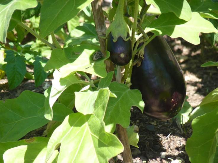 Beringela or aubergine
