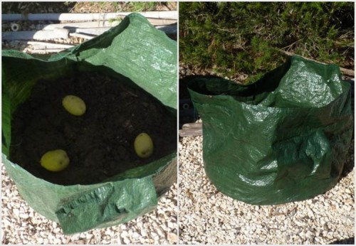 Growing potatoes in bag