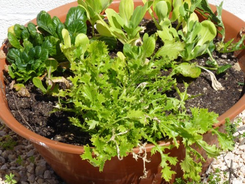 Mixed salad leaves growing in a shallow container