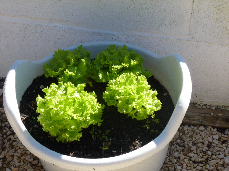 lettuce growing in a recycled container. Black Bedroom Furniture Sets. Home Design Ideas