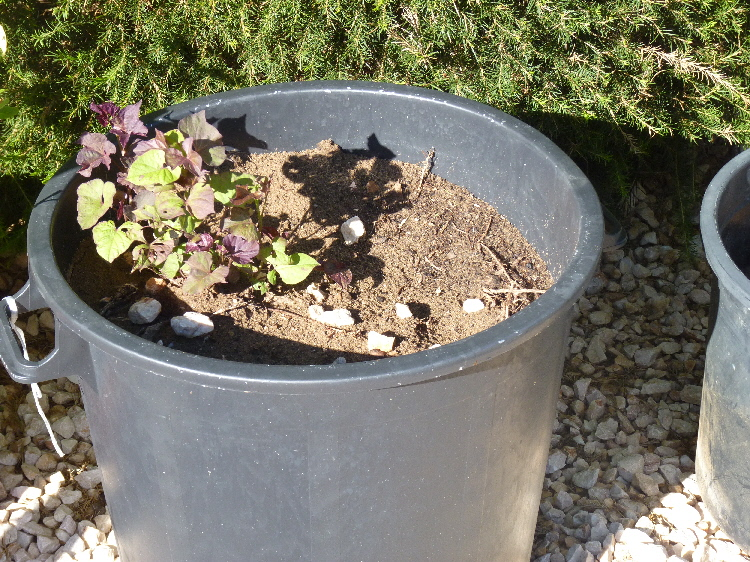 how to grow sweet mint in a pot