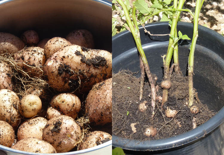 growing potatoes in containers | Piglet in Portugal