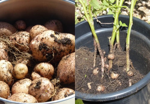 Potatoes grown in pots