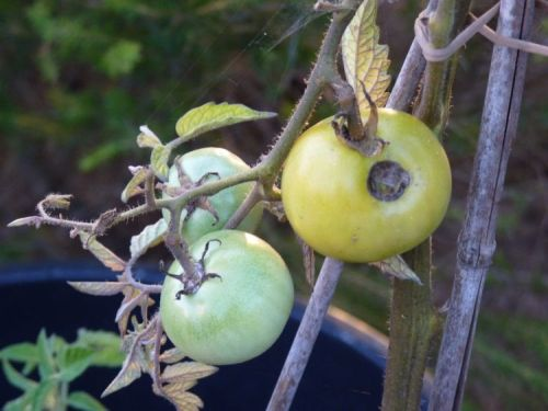 An insect bored into my tomatoes!