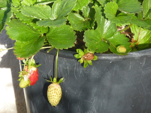 Winter strawberries growing in pots