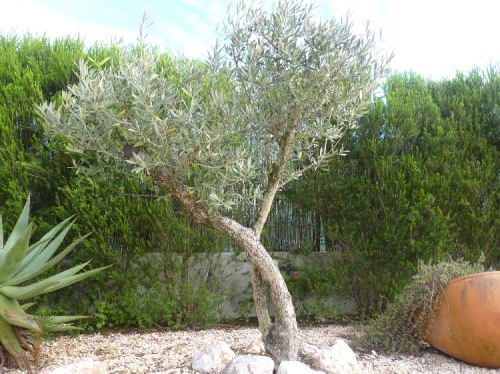 Postaweek2012 piglet in portugal for Olive trees in pots winter care