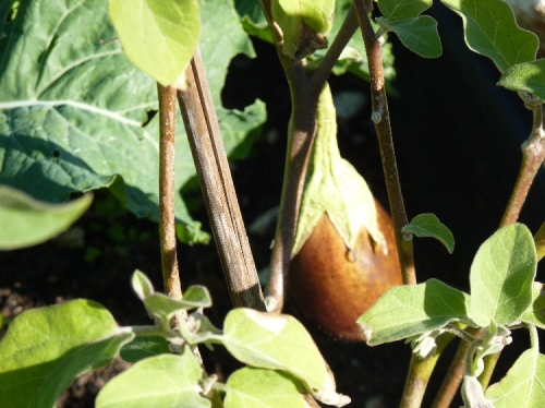 how to grow sweet potatoes in a pot
