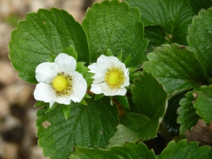 Strawberry flowers in December