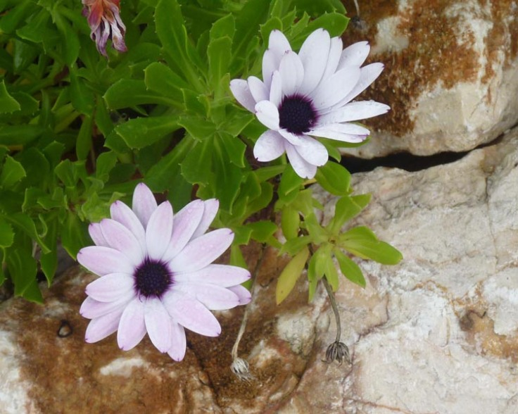 Osteospermum in December
