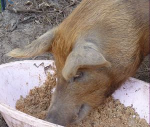 Take your snout out of the trough Piglet you're on a diet!