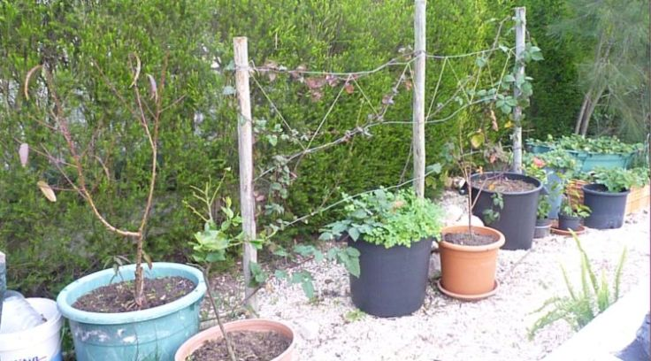 Blackberry and Tayberry plants growing in pots