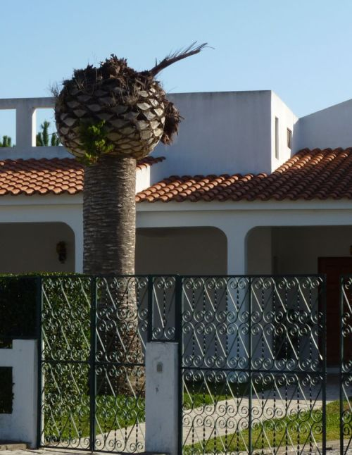 Palm tree infested with Red Palm Weevil, left to die - Western Algarve