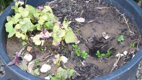 Growing Sweet potatoes in pots