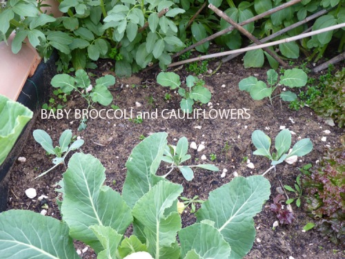 Baby cauliflowers and broccoli planted in January