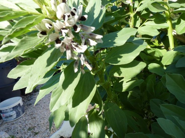 Favas (Broad beans)