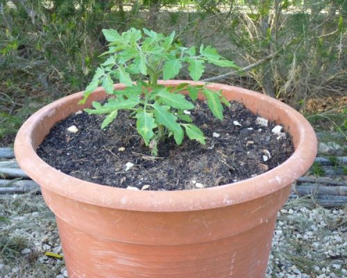 Cherry tomato plant in pot