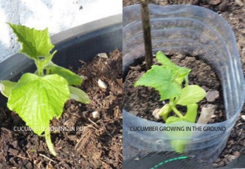 Cucumber experiment