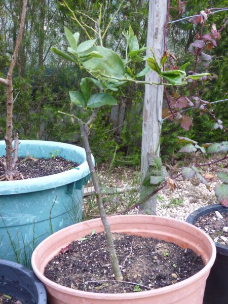 Lime Tree growing in pot