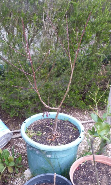 Peach tree in pot