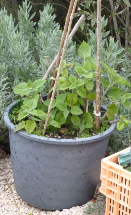 Physalis growing in a pot