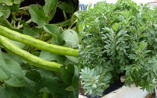 Favas - Broad Beans