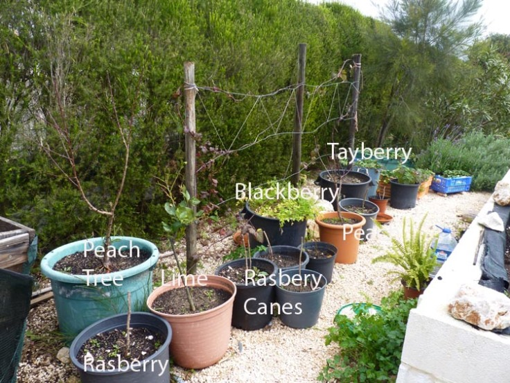 Growing Fruit Bushes and Trees in Pots