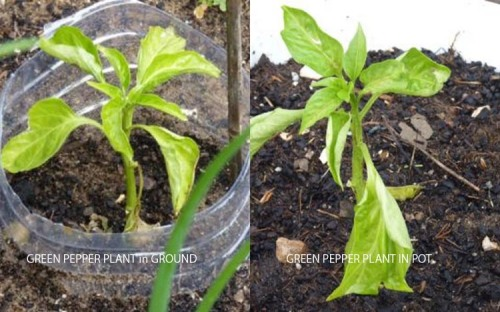 Green Pepper (Capsicum) Experiment  19/03/13