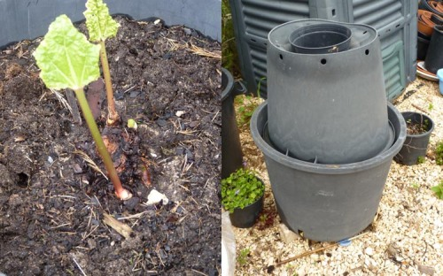 Rhubarb growing in a pot