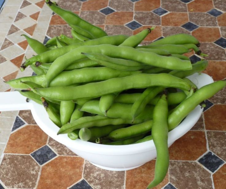 Favas (Broad Beans) grown in my garden