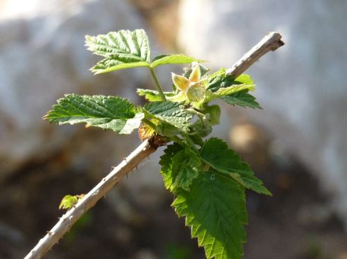My first raspberry flowers