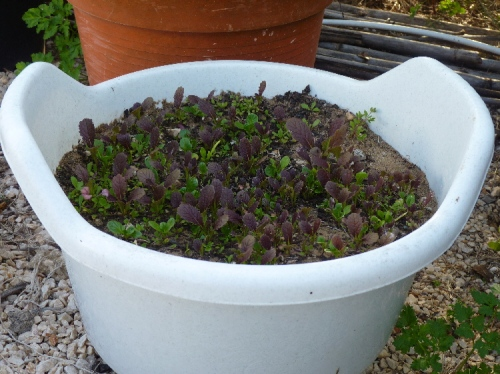 Growing Baby Leaf Salad in a Container