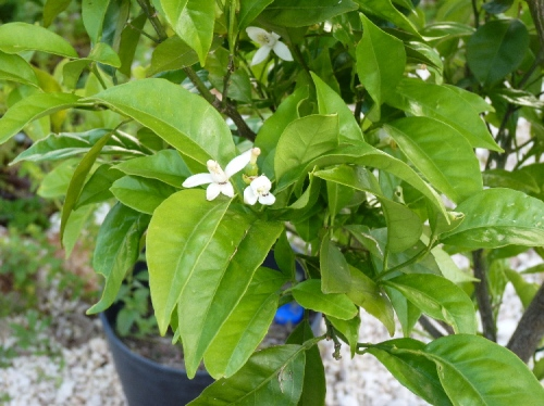 Finally some blossom on my orange tree