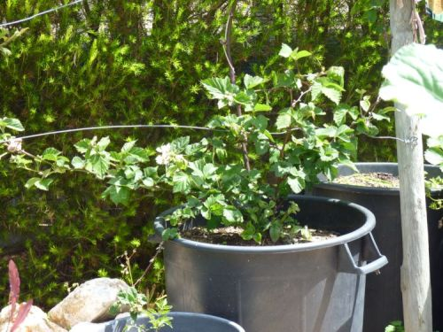 Tayberry growing in pot