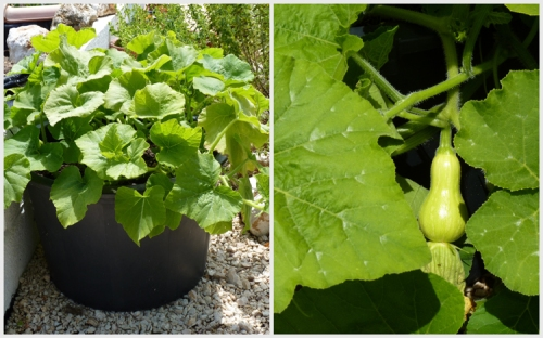 Container Grown Squash