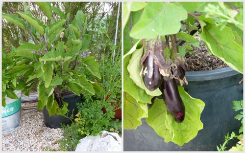 Aubergine growing in pot