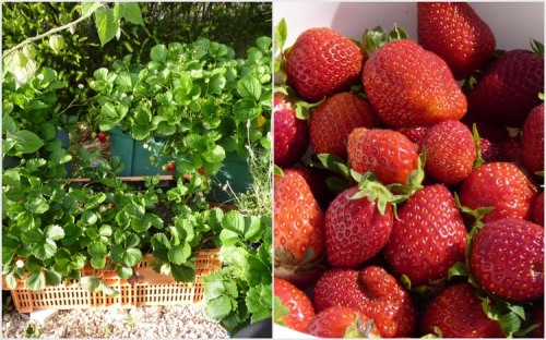 Strawberries growing in containers